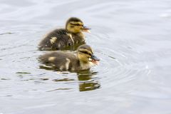Duck family in Harstad at Lofoten. In Norway Royalty Free Stock Photo