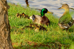 Duck Family. Image of male and female ducks surrounded by their offspring. The Mallard is looking at the Mother, while she looks back at her brood Royalty Free Stock Photos