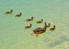 Duck Family. An image of a duck family swimming stock photos