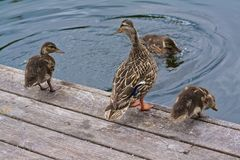Duck Family Jumping on  a Dock Jumping in Water Stock Photo