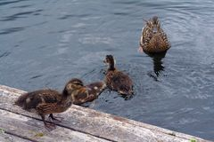 Duck Family Jumping in Water. Duck Family Teaching Learning Jumping Swimming Royalty Free Stock Photos