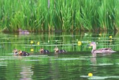 Duck. Family in the lake royalty free stock image