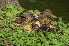 Duck family. By the lake, on green vegetation stock photo