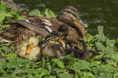 Duck family. By the lake, on green vegetation royalty free stock image