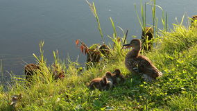 Duck family at the lake Royalty Free Stock Photos