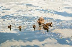 Duck family on the lake. Mother duck and her ducklings on the lake Royalty Free Stock Image
