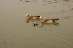 Duck family. A duck family on a lake in springtime royalty free stock photography