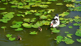 Duck Family in Lake. Duck and two ducklings swimming in a lake with lotus leaves stock photography