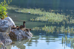 Duck. Family on lake water royalty free stock images
