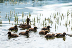 Duck. Family on lake water royalty free stock photo