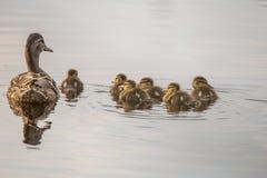 Duck family. At Lake Yushino Stock Images