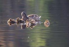 Duck family. At Lake Yushino Stock Photos