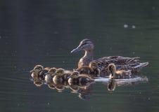 Duck family. At Lake Yushino Stock Photography
