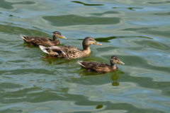 Duck family (lat. Anas platyrhynchos). Duck Mallard with ducklings swimming in the lake Royalty Free Stock Image