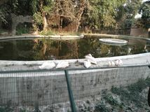 Duck duck family. Duck duck . , lucknow, zoo, nature, animals stock photo