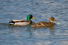 Duck family. Male and female duck swimming in clean water. Sunny weather and blue water surface stock image