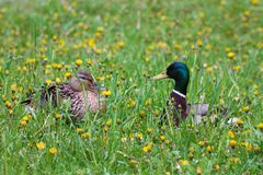 Duck family male and female flaunt and love each other - a love story.  stock photo