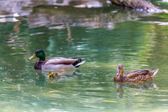 Duck Family. A male and female mallard duck watch over their baby duckling stock photo