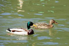 Duck family. A male and a female wild duck pair Royalty Free Stock Photos