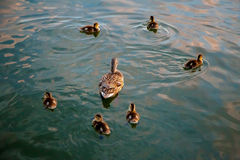 Duck Family. Mama duck and her six babies take a sunset swim. The babies surround the mom in a pleasant formation Royalty Free Stock Photography