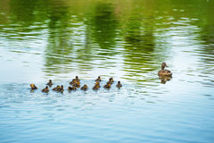 Duck family with many small ducklings Stock Photos