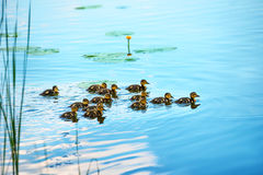 Duck family with many small ducklings. Swimming on the river stock image