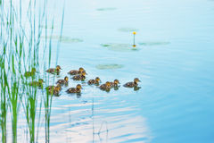 Duck family with many small ducklings. Swimming on the river stock photos