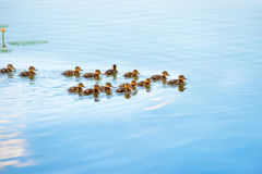 Duck family with many small ducklings. Swimming on the river stock images