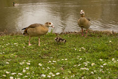 Duck family. A duck family on a meadow in springtime stock photos