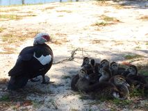 Duck family. A momma duck and her ducklings royalty free stock photography