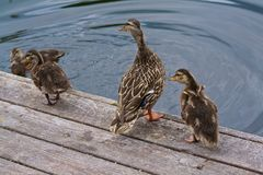 Duck Family Mother Duckling Flapping-Vleugels stock fotografie