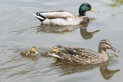 A duck family. A mother and father duck and two ducklings stock photo