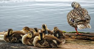 Duck family. A mother duck and her babies on a wooden dock Royalty Free Stock Photo
