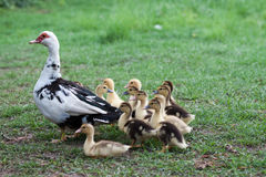 Duck family. Mother with her 10 baby ducks Stock Images