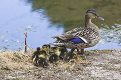 Duck Family. A mother with her ducklings stock image