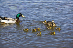 Duck family. Mother duck leading a group of ducks swimming in the water royalty free stock image
