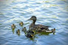 Duck family. Mother duck and little ducklings. Water pond river Little fluffy swim Royalty Free Stock Image