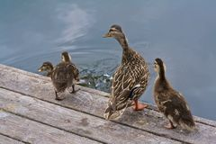 Duck Family Mother Looking Ready zum Springen in das Wasser Lizenzfreies Stockfoto