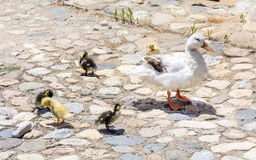 Duck family. Mother mallard duck with her baby ducks stock images