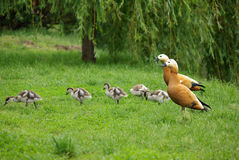 Duck family on nature Royalty Free Stock Photo