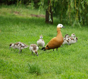 Duck family on nature. Duck with ducklings on the green lawn in the summer stock photography