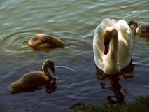 Duck Family nel lago fotografie stock libere da diritti