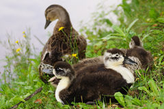 Duck family of the pond Stock Images
