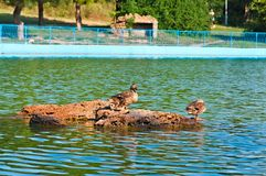 Duck Family. On the pond in city park royalty free stock photography