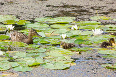Duck family in a pond. Duck family searching for food in a pond stock photos