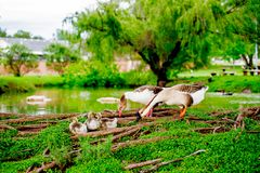 DUCK FAMILY BY POND IN TX 2. DUCK FAMILY BY POND IN TX stock photos