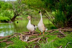 DUCK FAMILY BY POND IN TX 2. DUCK FAMILY BY POND IN TX stock photography