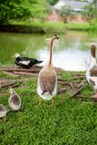 DUCK FAMILY BY POND IN TX 2. DUCK FAMILY BY POND IN TX royalty free stock image