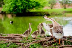 DUCK FAMILY BY POND IN TX 2. DUCK FAMILY BY POND IN TX stock images