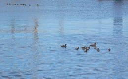 Duck Family que flota en el agua Fotos de archivo